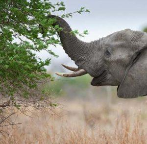 Elefante comiendo rama de árbol