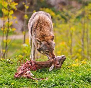 Lobo comiendo