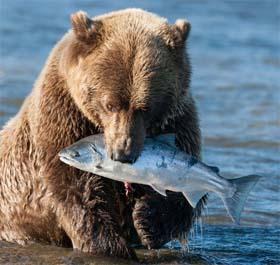 Que comen los osos