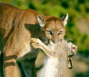 Puma comiendo