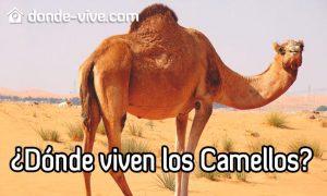 ¿Dónde viven los camellos?